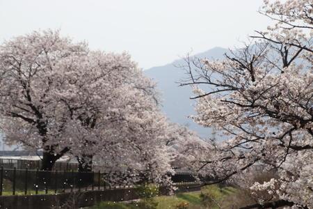 新入生の皆さんへ 《桜の風景》